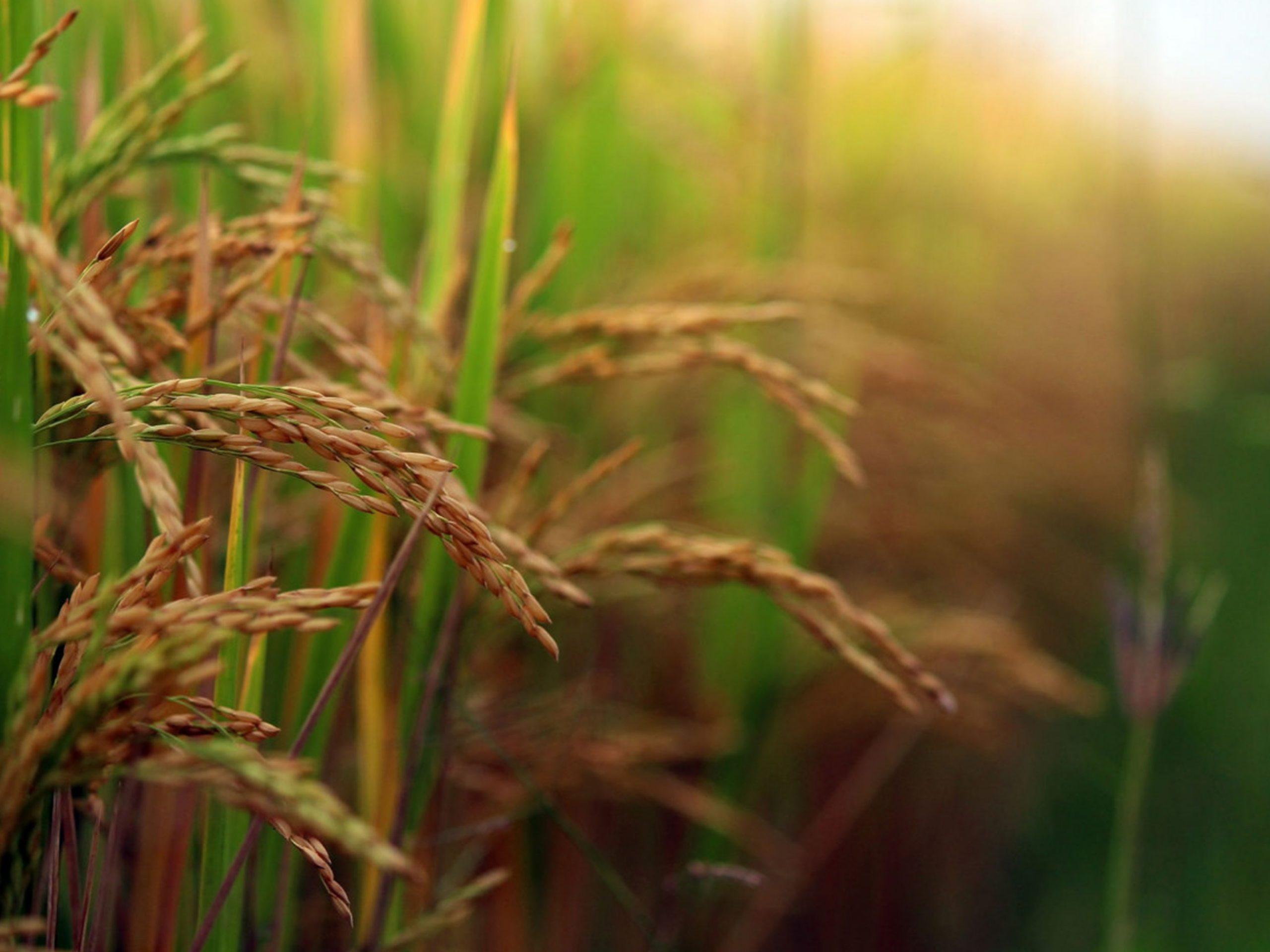 Annadata Rice